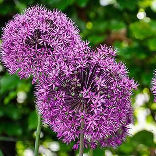 Allium 'Mars'