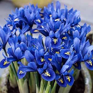 Iris reticulata Blue (miniature) Size:5/7 pack of 40 bulbs