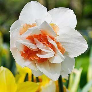 Daffodil 'Replete'