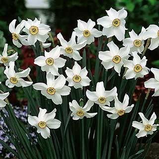 Daffodil 'Pheasant Eye'