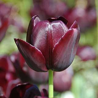 Tulip 'Queen of the Night'