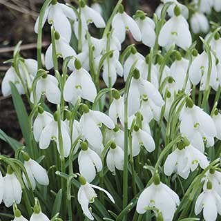 Single-Flowered Snowdrops 'In The Green'