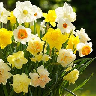 Tall Mixed Daffodils