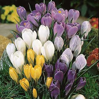 Jumbo Crocus Mix