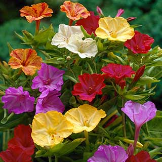'Marvel of Peru' - Mirabilis jalapa