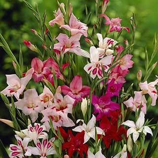 Dwarf Gladiolus nanus 'Lipstock' mix