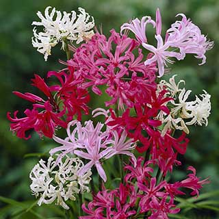 Nerine bowdenii Guernsey Lily Collection