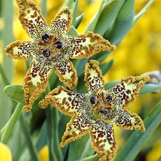 Ferraria crispa Starfish Iris
