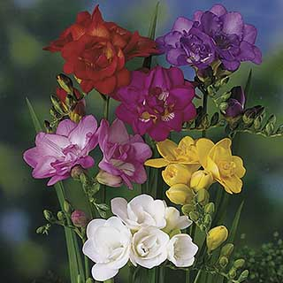 Double Freesias Mixed 50 Corms
