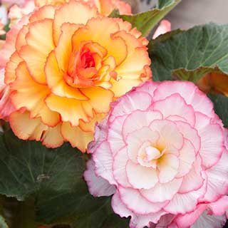 Begonia 'Sensation' Picotee Mix