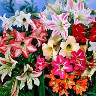 Hardy Garden Amaryllis 'Sonatini'