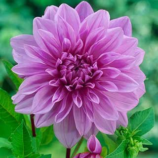 Dahlia 'Lavender Perfection' tubers