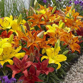 Carpet Lilies 'Hot Flame Mix'