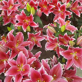 Oriental Pot Lily 'Sunny Grenada'