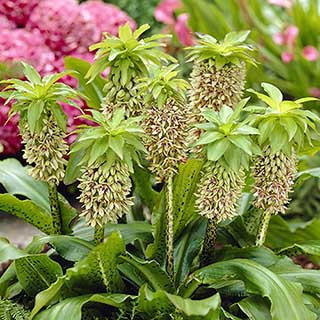 Eucomis bicolour Pineapple Lily