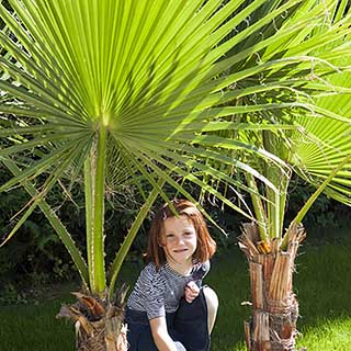Washingtonia robusta (Cotton Palm) in 17cm pot 1M tall