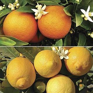 Pair of Citrus trees 3L (Orange & Lemon)