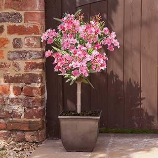 Pink Oleander Patio Half Standard 60-70cm