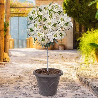 Patio Standard Oleander White 65cm Tall in 3L Pot