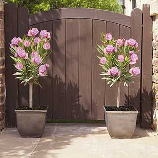 Pair of Pink Oleander Patio Standards 60-70cm Tall