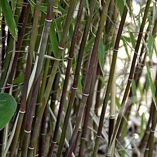 'Red Fountain Bamboo'  Fargesia Jiuzhaigou '1'