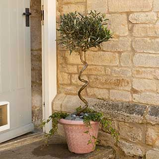 Twisted Corkscrew Stem Standard Olive Tree
