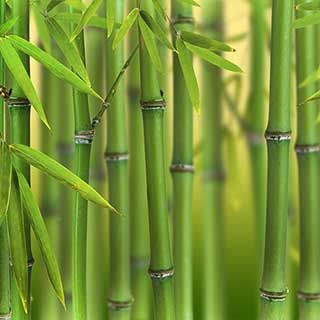 Phyllostachys bissetti - Green bamboo