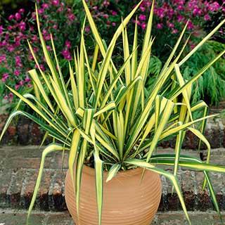 Yucca filamentosa 'Colour Guard' Needle Palm