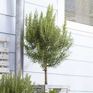 Rosemary Standard 80-100cm Tall in a 3L Pot