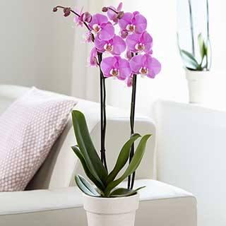 Phaleanopsis 'Moth Orchid' 2 stem