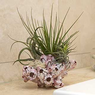 Barnacle Air Plant Kit