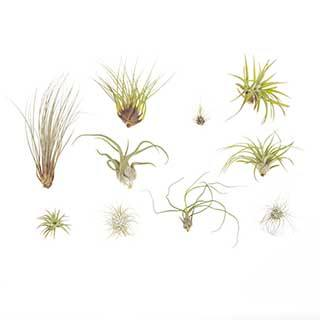 Large Sized Air Plant Collectin - 10 Pack