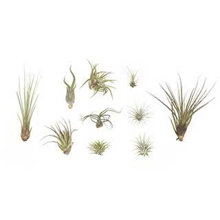 Medium Sized Air Plant Collection - 10 Pack