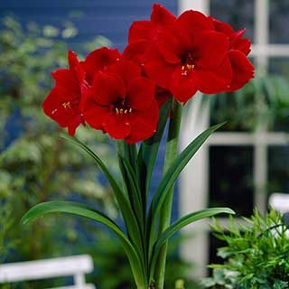 Pair of Red Amaryllis Bulbs with Pots & Compost