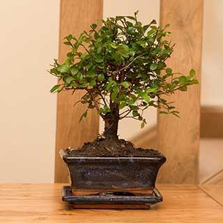 Chinese Elm Bonsai Tree 12cm ceramic