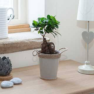 Bonsai Ficus Ginseng  - Easy Care Houseplant