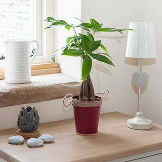 Pachira aquatica - Easy Care Houseplant in 13cm warm zinc pot