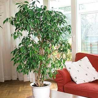 Ficus benjamina Exotica 'Weeping Fig'