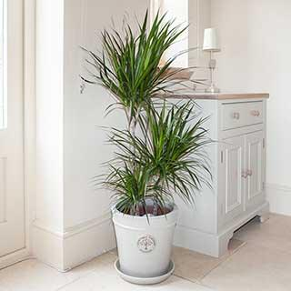 Dracaena Marginata 3 stem 60/30/15cm in 24cm pot 1.3M tall