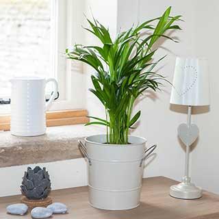 Areca Palm - Butterfly Palm