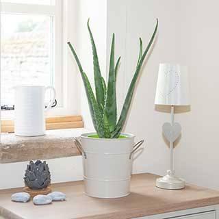 Aloe Vera Easy Care Houseplant