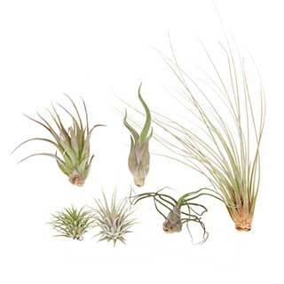 Mixed Size Air Plants Pack x 6