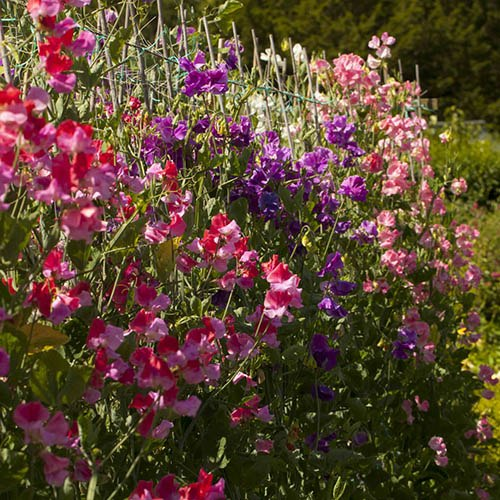 Sweet Pea Super Scent