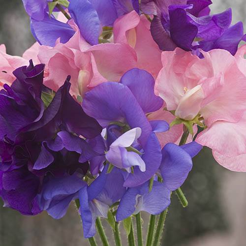 Sweet Pea Super Scent Seeds