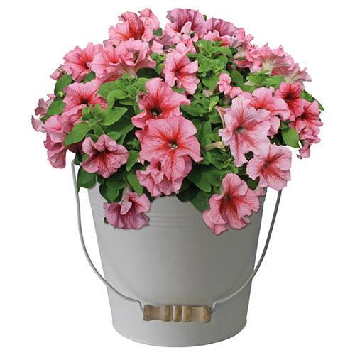 Petunia Gift Bucket