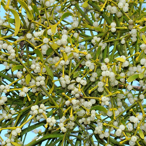 Bunch of Mistletoe - 10 sprigs