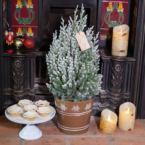 Miniature Decorated Living Christmas Tree