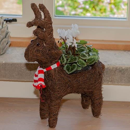 Rudy Reindeer with Cyclamen