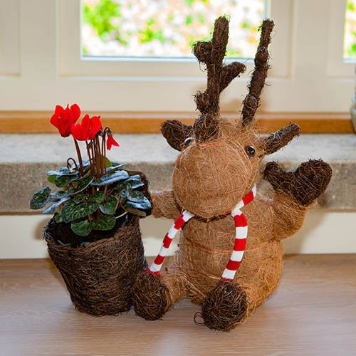 Marty Moose with Cyclamen