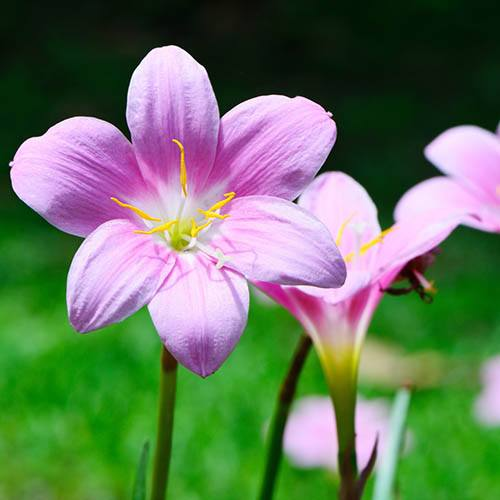 Pink Fairy Lily - Zephyranthes